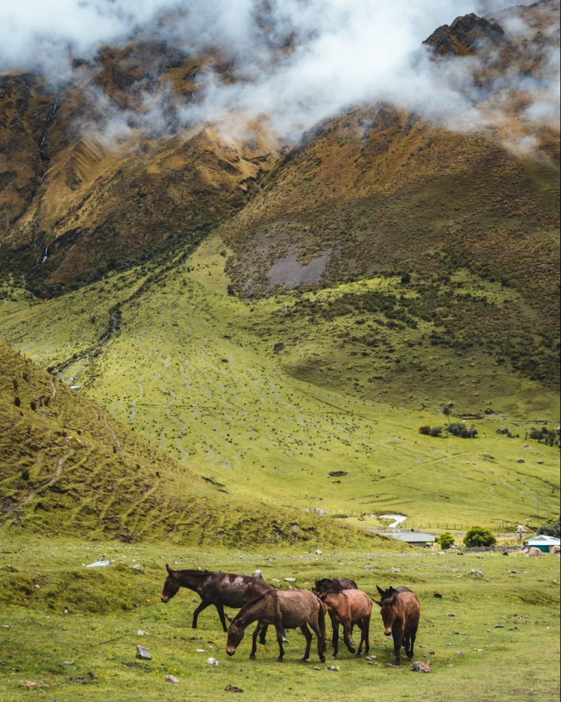 horses roaming the mountains in peru